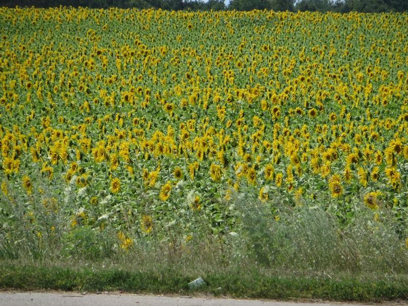 Красиве поле з соняшників на об'їздній Чернігова